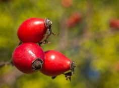 Do džemov, kompótov, omáčok, sirupov, ale hlavne na čaj či prípravu vína – využitie červených šípok zdobiacich jesenné kríky je skutočne všestranné. Na šípkach však nie je zaujímavé len ich využitie v kuchyni. Viac o ich zložení a zdravotných účinkoch sa dozviete z príspevku Ivana Šalamona, ekológa a biológa z Katedry ekológie Fakulty humanitných a prírodných vied Prešovskej univerzity v Prešove.