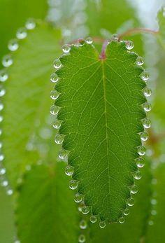 Guttatie. Waterdruppeltjes die uit jonge bladeren komen.