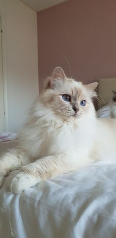 Miss Fanna❤ lilac Tortie point ❤ Sacred Birman ❤ Cattery Chintei Cute Cats And Kittens, Baby Cats, I Love Cats, Kittens Cutest, Pretty Cats, Beautiful Cats, Birma Cat, Cute Cat Wallpaper, Cat Aesthetic