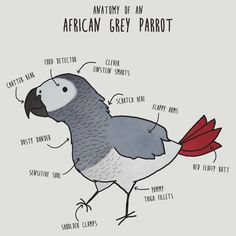 """Funny bird shirt with the graphic """"Anatomy of an African Grey Parrot"""". This is a pretty cute tee for pet lovers and is available in a bunch of men's and women's styles. #bird #outfit"""