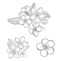 Plumeria or frangipani flower illustration drawing set with hand drawn line art style for coloring , Tatouage Plumeria, Plumeria Flower Tattoos, Tropical Flower Tattoos, Plumeria Flowers, Tattoo Flowers, Cool Art Drawings, Tattoo Drawings, Flower Art Drawing, Flower Drawings