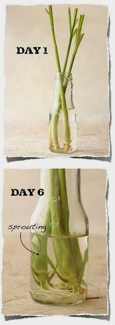 Alternative Gardning: How to Re-Grow Lemongrass from Kitchen Scraps