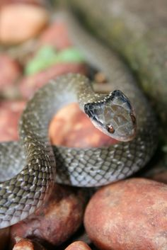 Crotaphopeltis hotamboeia - Red-lipped or Herald snake by Tyrone Ping