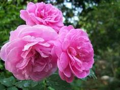 August 2: Flower of the Day Damask Rose, means: Bashful Love