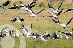 #Birding_in_Spain. Flock of White Storks (Ciconia ciconia) near #Tarifa.  More information to plan your trip to #The_strait_of Gibraltar in www.qnatur.com