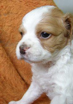 maya ♥ Brittany dog