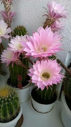 Cactus in bloom. The Effective Pictures We Offer You About cactus logo A quality picture can tell yo Flowering Succulents, Cacti And Succulents, Planting Succulents, Planting Flowers, Exotic Plants, Exotic Flowers, Amazing Flowers, Beautiful Flowers, Agaves