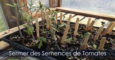 Comment semer des graines de Tomates - Partir des plants de Tomates. Voir comment: http://www.france-jardinage.com/semis/semences-3.html  #serres #tomate #tomates #légumes #jardinage