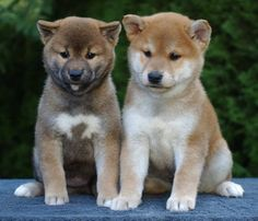 7 week old San Jo puppies. They wants to play! Japanese Dog Breeds, Japanese Dogs, Cute Dog Photos, Cute Animal Pictures, Cute Baby Animals, Animals And Pets, Boy Dog Names, Pets 3, Cute Dogs And Puppies