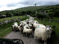 Tor Head - a typical Irish encounter: on a road barely wide enough for two cars to pass each other you meet a herd of sheep, moved along not by a shepherd of old but by the modern farmer in his Landrover.