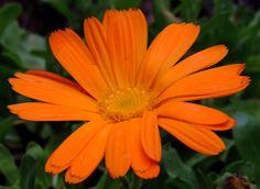 Calendula, Plants, World, Herbs, Flowers, Plant, Planting, Planets