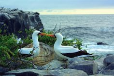Nothing will prepare you for what a holiday in the Galapagos Islands has to offer. Located  in the centre of the Pacific Ocean, the 'enchanted islands' are a nature lovers' paradise. A Galapagos islands vacation will take your breath away and leave you with unforgettable memories of close encounters with the wildlife. #Albatross #GalapagosIslands #Ecuador #Familytravel #wildlife #travel