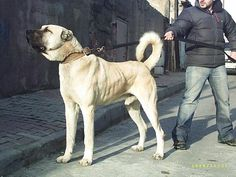 One Of My Favorite Dogs - Kangal