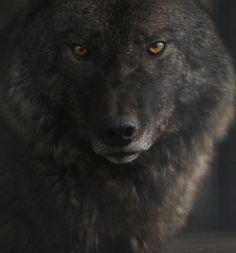 Charcoal colored wolf