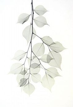 Beyond Light, a web site about Albert Koetsier's artwork about the intersection of art (photography) and science (X-Rays) Watercolor Plants, Floral Watercolor, Botanical Art, Botanical Illustration, Floral Drawing, Plant Drawing, Deco Floral, Plant Art, Leaf Art