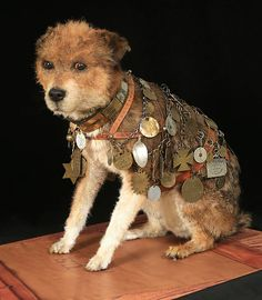 """Owney with his collar and tags. Read his FANTASTIC story by searching """"Owney the Postal Dog""""."""