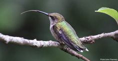 It's not just their wings that are fast. When feeding, hummingbirds can lick…