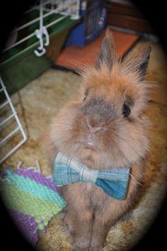 Handsome little lionhead bunny.