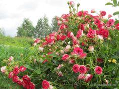 39 princess alexandra of kent 39 rose photo rose garden pinterest princess alexandra rose. Black Bedroom Furniture Sets. Home Design Ideas