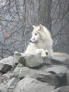 Tundrafarkas / Arctic tundra wolf (Canis lupus tundrarum), Budapest Zoo - Gábor Hernádi So majestic Arctic Tundra, Arctic Wolf, Wolf Photos, Wolf Pictures, Wolf Spirit, Spirit Animal, Beautiful Creatures, Animals Beautiful, Wolves