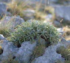 Kadulja (Salvia officinalis) - aromatic and medicinal plant - growing spontaneously (Kornati islands - Croatia)