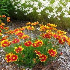 Coreopsis 'Li'l Bang Daybreak' Daybreak Tickseed from Prides Corner Farms