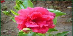 Japon Gülü Bakımı Nasıl Yapılır? Bonsai, Mandala, Rose, Flowers, Plants, Shop, Pink, Plant, Roses