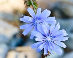 Wild Chicory of Ontario - on the shorelines of Georgian Bay outdoors-nature Purple Flowers, Spring Flowers, Wild Flowers, Beautiful Gardens, Beautiful Flowers, Plant Tattoo, Flower Aesthetic, Pretty Pictures, Trees To Plant