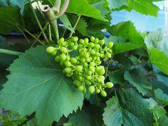 Sommerbeskjæring av drueranke for bedre og søtere druer Garden, Food, Compost, Garten, Lawn And Garden, Essen, Gardens, Meals, Gardening