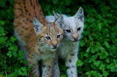 Baby Lynx. Photo by jeremyhost
