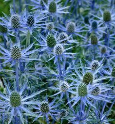 Eryngium available all year round as a cut flower