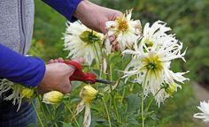 Wenn die ersten Blüten der Dahlien welken, sollte man sie gleich abschneiden, um Platz für neue Blütenstiele zu schaffen. Mit der richtigen Schnitttechnik kann man dabei auch die Größe und Fülle der Blüten beeinflussen.