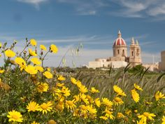 Crown daisies and church, Glorious Gozo