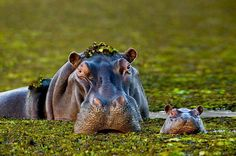 Hippos - posted via Our Beautiful World And Universe - http://www.facebook.com/photo.php?fbid=167209750023300&set=a.167209196690022.41297.159928490751426&type=3&theater