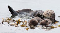 Vroege Vogels: Zeeotters drijven slim