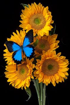 Butterfly with sunflowers