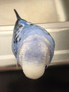 Omg this looks exactly like one of my parakeets