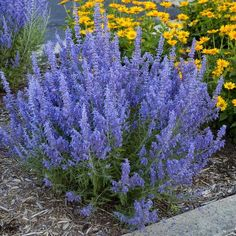 Front Yard Landscaping Low Water Russian Sage - These 12 drought tolerant plants will add life and color to your garden, even if you live in a hot and dry desert environment. These flowers love the sun! Drought Resistant Plants, Drought Tolerant Landscape, Drought Resistant Landscaping, Water Plants, Garden Plants, Flowering Plants, Garden Shrubs, House Plants, Russian Sage