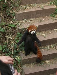 25 Things You Didn't Know About Red Pandas - meowlogy Scary Animals, Cute Baby Animals, Animals And Pets, Funny Animals, Beautiful Creatures, Animals Beautiful, Red Panda Cute, My Spirit Animal, Cute Animal Pictures