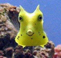 Cute fish Beautiful Sea Creatures, Animals Beautiful, Colorful Fish, Tropical Fish, Cow Fish, Saltwater Fish Tanks, Salt Water Fish, Water Animals, Underwater Creatures