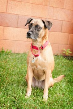 Roxy - 3 year old spayed female Lab mix. Roxy came to the shelter as a surrender because her previous owners couldn'€™t train her; Sweet but a little shy; Loves to be around people; Very affectionate; loves to snuggle. Adoption Fee: $195