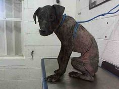 LAST CHANCE RED CODE!!!** SCAR (A1710331) I am a male black Labrador Retriever mix. The shelter staff think I am about 1 year old and I weigh 29 pounds. I was found as a stray and I may be available for adoption on 07/14/2015--- .at Miami Dade County Animal Services