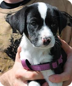 Prattville, AL - Beagle Mix. Meet Ann 19260 a Puppy for Adoption.