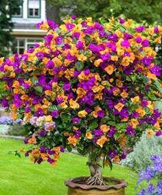 20 pcs/bag bougainvillea seeds, Bougainvillea Spectabilis Willd Seeds, beautiful flower seeds bonsai pot plant for home garden