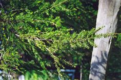 Click to view full-size photo of Canadian Hemlock (Tsuga canadensis) at Connon Nurseries CBV