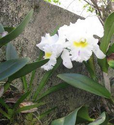 Orquídea branca 2015