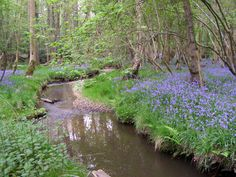 Stream through bluebell woods at Moor Corner, New Forest, Hampshire, England New Forest England, Forest Hotel, Woodland Flowers, Flower Landscape, English Countryside, British Isles, Pathways, Mother Earth, Wonders Of The World