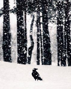 "55k Likes, 721 Comments - Konsta Punkka (@kpunkka) on Instagram: ""~ Raven and a snowstorm"""