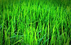 Did You Know? Our Wheatgrass Has Over 90 Minerals Present In It! Due To Our Unique Growing Procedure! #greenjuices