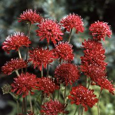 Knautia Red Cherries - Flowers H to L - Alpha Search for Flowers - Flowers - Kings Seeds (NZ) Ltd